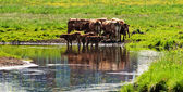 Cows close to river — Stock Photo