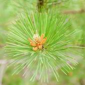 Pine background — Stock Photo