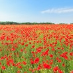 Red poppy flowers on fields — Stock Photo #49199763