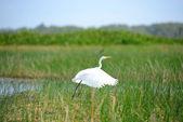 Intermediate Egret bird is at wetland — Stock Photo