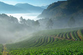 Beautiful strawberry farm and among mountain and fog in the morn — Stock Photo