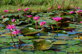 Beautiful blossom lotus flower in Thailand pond — Stock Photo