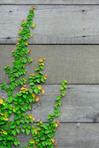 The Green Creeper Plant on the wooden wall for background. — Stock Photo
