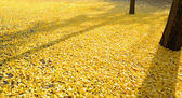 Leaves of the ginkgo tree in fall on the ground — Stock Photo