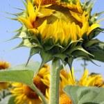 Sunflower bud — Stock Photo