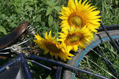Sunflowers on bicycle luggage rack — Stock Photo