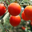 Stock Photo: Tomato production in green house