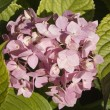 Hortensia flowers background - Stock Photo