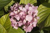 Hortensia flowers background — Stock Photo