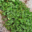 Clover patch — Stock Photo