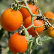 Cherry tomato in green house — Stock Photo