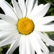 Close up camomile flower — Stock Photo