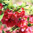 Stock Photo: Chaenomeles japonica