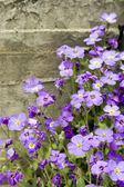 Little violet flowers — Stock Photo