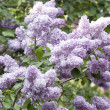 Lilac bush — Stock Photo