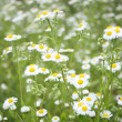 Stock Photo: Camomile field
