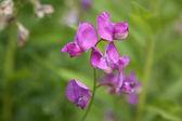 Vicia flowers — Stock Photo