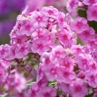 Pink phlox — Stock Photo