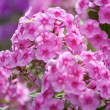Pink phlox — Stock Photo #34351927