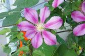 Gestreepte paarse bloem van klimatis met zeven bloemblaadjes — Stockfoto