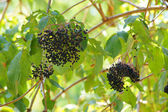 Bunches of black elderberry on the background of green leaves — Stock Photo