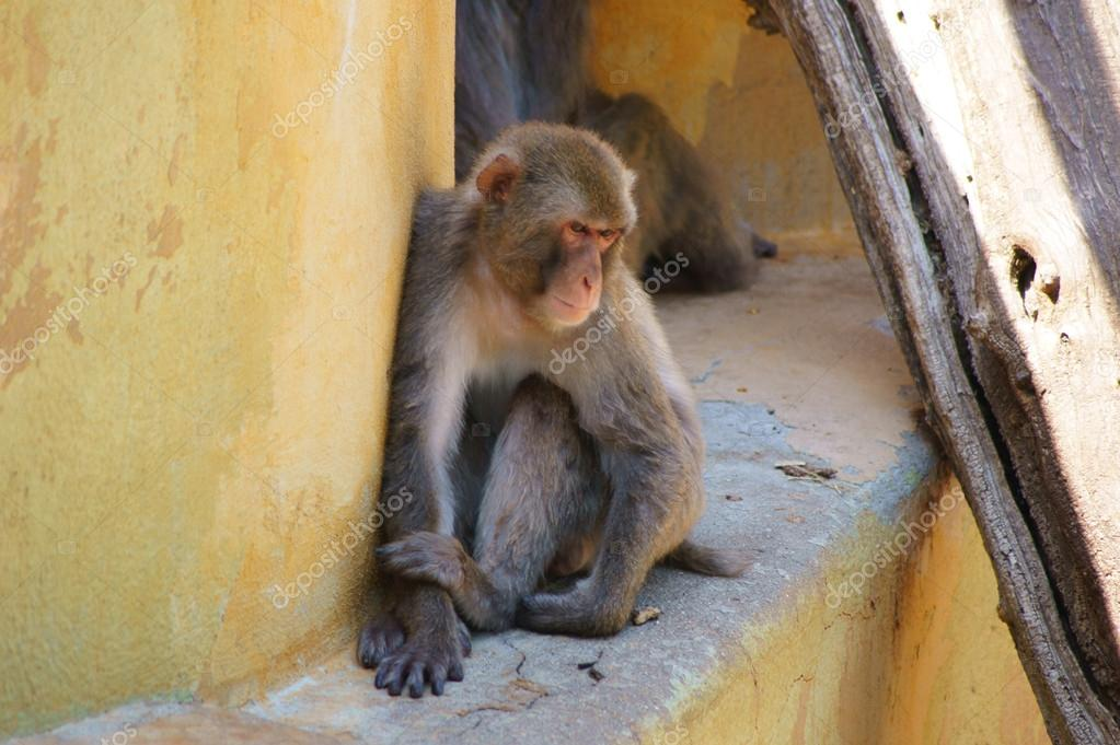 Midday stupor in monkeys — Foto Stock #12070577