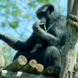 Black monkey in pose of thinker — Stock Photo #12180401