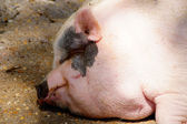 Fat pig — Stock Photo