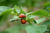 Colorado potato beetle larvae on potato — Stock Photo