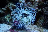 Anemone or a sea anemone — Stock Photo