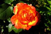 Yellow-red rose — Stock Photo