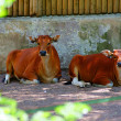 Red cow — Stockfoto