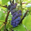 Stock Photo: Dark grapes