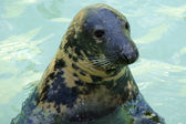 Seal in the pool — Stock Photo