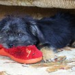 Puppy and slipper — Stockfoto