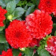 Red dahlias — Stock Photo #13287695