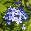 Blue inflorescence - Stock Photo