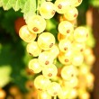 Stock Photo: White currant