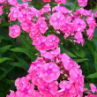 Stock Photo: Phlox
