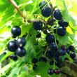 Stock Photo: Backcurrant