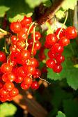 Redcurrant — Foto Stock