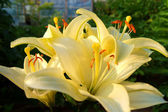 Lemon lily — Stock Photo