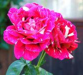"""Rose """"Hocus Pocus"""" — Stock Photo"""