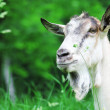 Goat on the nature - Photo