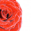 Red Roses on white — Stock Photo