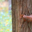 Squirrel in a tree — Stock Photo #12168736