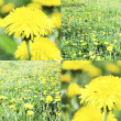 Yellow flower field - Stock Photo