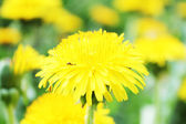 Dandelion clump — Stock Photo