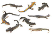 Newts — Stock Photo