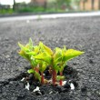 Young sprout makes the way through asphalt on city road - Foto Stock